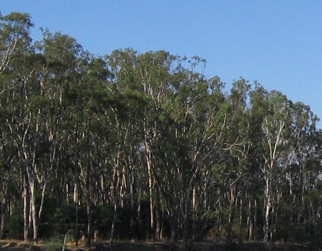 Une forêt de Mallee